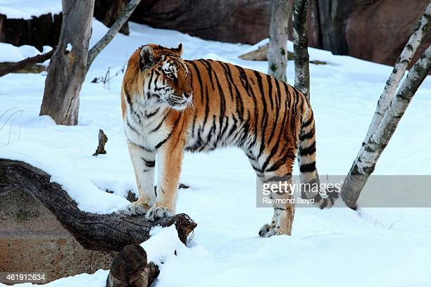 Siberian Tiger pauses in the snow and views spectators at Lincoln Park Zoo in Chicago on January 15 2015 in Chicago Illinois