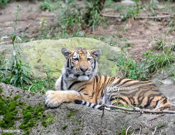 siberian tiger - ian gwinn stock photos and pictures