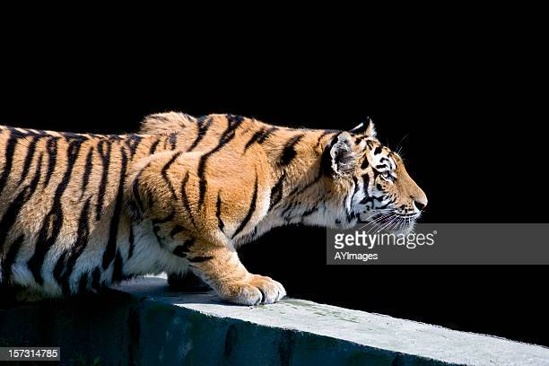 siberian tiger (panthera tigris altaica) - animals hunting stock pictures, royalty-free photos & images