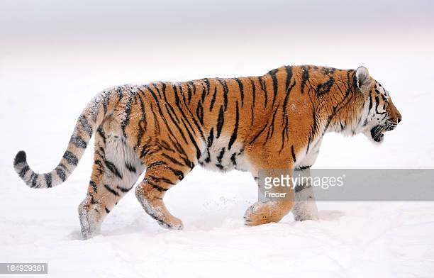 siberian tiger - siberian tiger stock pictures, royalty-free photos & images