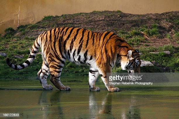 siberian tiger - stephan rebernik stock-fotos und bilder