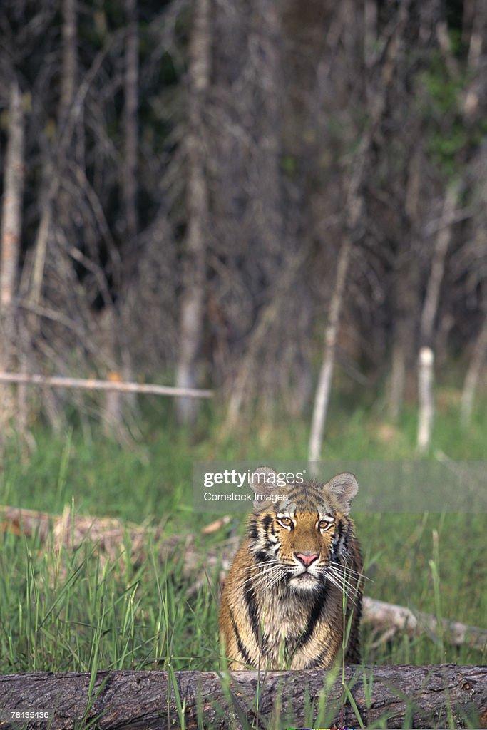 Siberian tiger : Stock Photo