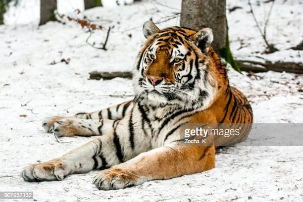 Sibirischer Tiger ruhen auf Schnee
