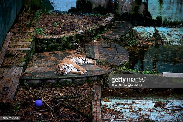 Siberian tiger rests in an old swimming pool at TriState Zoological Park in Cumberland MD on October 13 2013 The tiger is one of three born at the...
