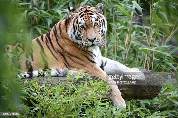 A Siberian Tiger rests on a log in its enclosure at the zoo in Muenster western Germany on August 18 2014 AFP PHOTO / PATRIK STOLLARZ