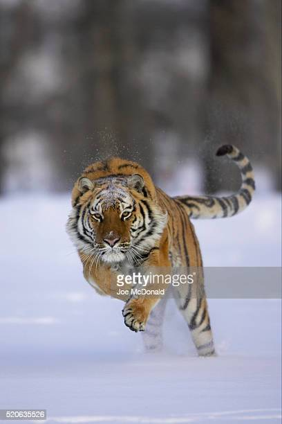 siberian tiger running through snow - siberian tiger stock pictures, royalty-free photos & images