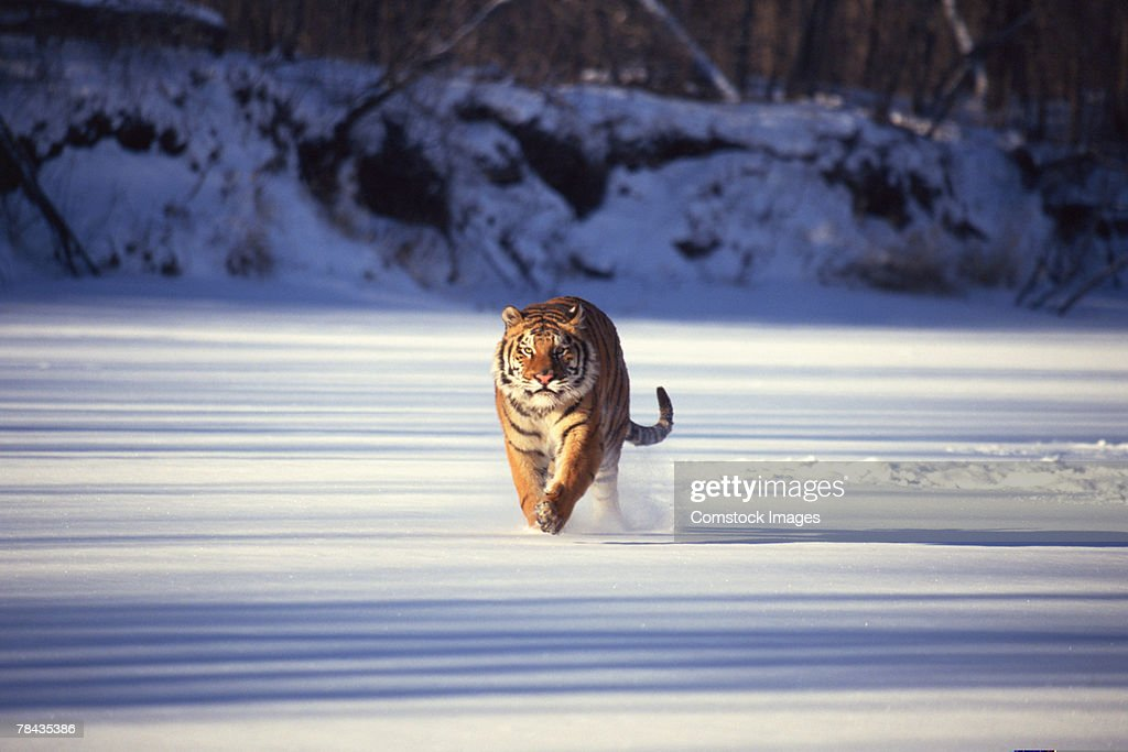 Siberian tiger running through snow : Stockfoto