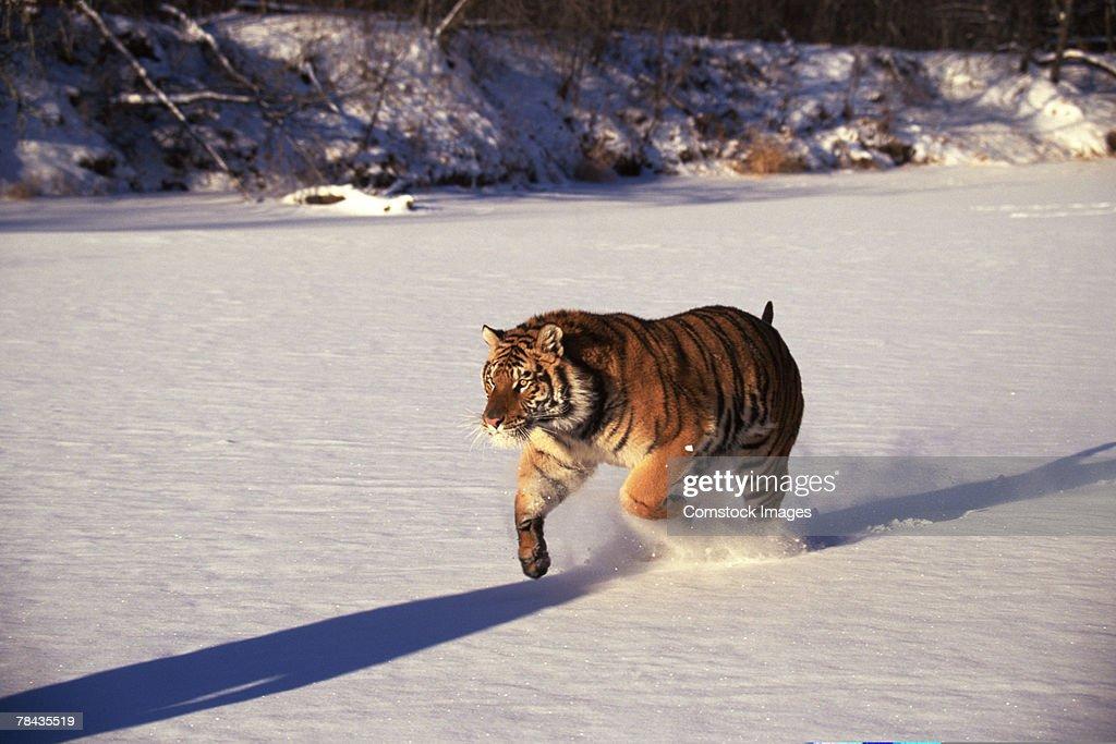 Siberian tiger running through snow : Stockfoto