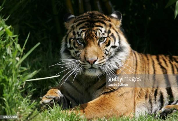 A Siberian tiger sits on the grass in its enclosure at the San Francisco Zoo May 18 2006 in San Francisco California A 350pound tiger named Tatiana...