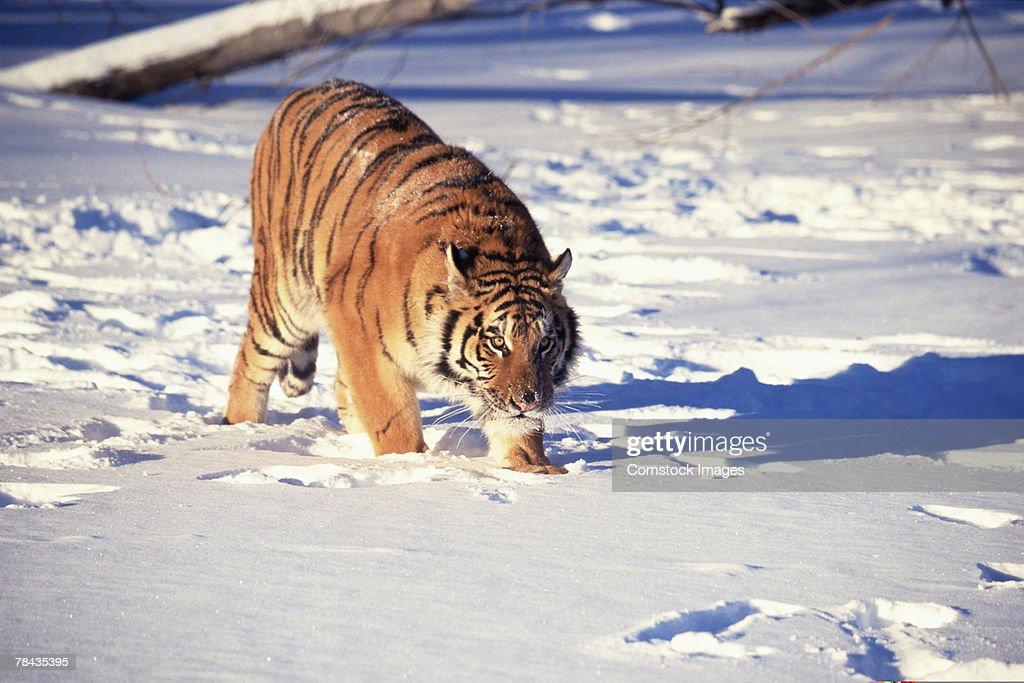 Siberian tiger stalking through snow : Stockfoto