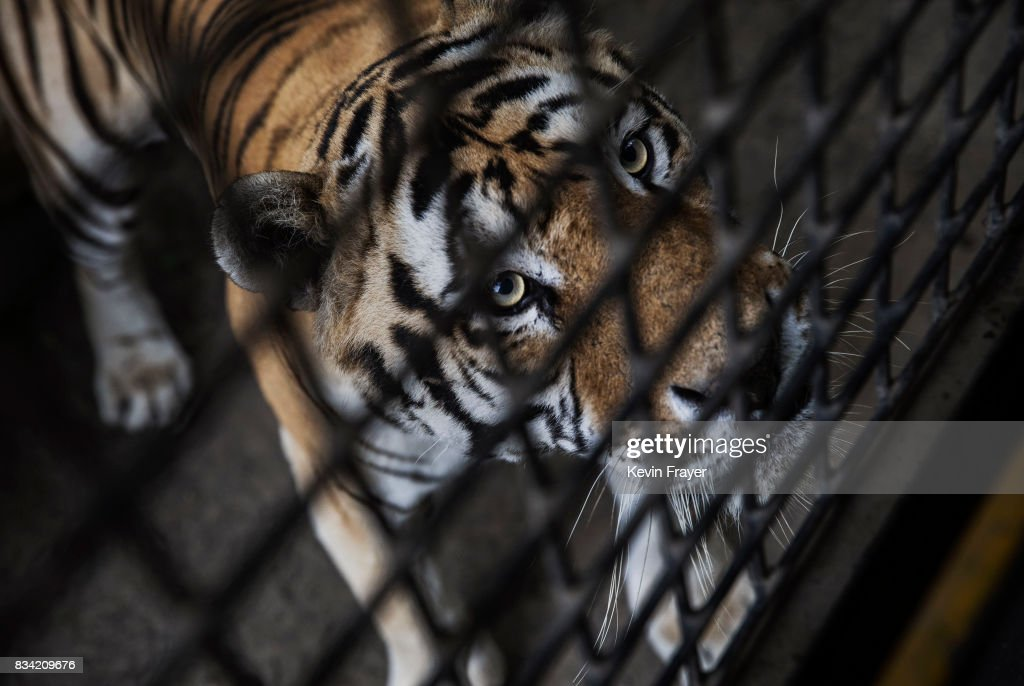 A Siberian Tiger waits to be fed by Chinese tourists in a bus at the Heilongjiang Siberian Tiger Park on August 16, 2017 in Harbin, northern China. The center is one of two Siberian tiger parks in the Chinese province of Heilongjiang, about 500 kilometers (300 miles) from the border with Russia. It is considered the world's largest for breeding the Siberian, or Amur, tiger which is listed as endangered by the World Wildlife Federation. As many as 540 are known to exist. The Harbin center opened in 1986 and claims an 80-percent survival rate among the 100 or so cubs born in captivity every year, though a government plan reveals it could be another decade before the program actually releases a tiger to the wild. In 1996, it opened to the public as a commercial park allowing tourists on safari buses to view its 600 tigers in an open range area meant to simulate their natural habitat. Customers pay extra to throw live chickens or ducks to the tigers to eat, or to hold a tiger cub. Critics regard the park as a large-scale breeding farm, where tigers are kept in unnatural conditions and unable to hunt to survive. Despite a longstanding government directive, some facilities in China have been accused of trading products made from tiger parts, including 'wine' made by soaking tiger bones in alcohol. The park divides the tigers among different areas in the park according to age and seniority, and cubs begin 'wilderness training' when they are three to four months old. Wildlife experts say inbreeding and natural habitat destruction pose the greatest risk to the Siberian or Amur tiger subspecies.