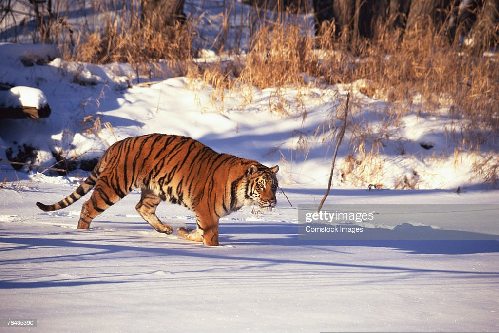 Siberian tiger walking in snow : Stockfoto