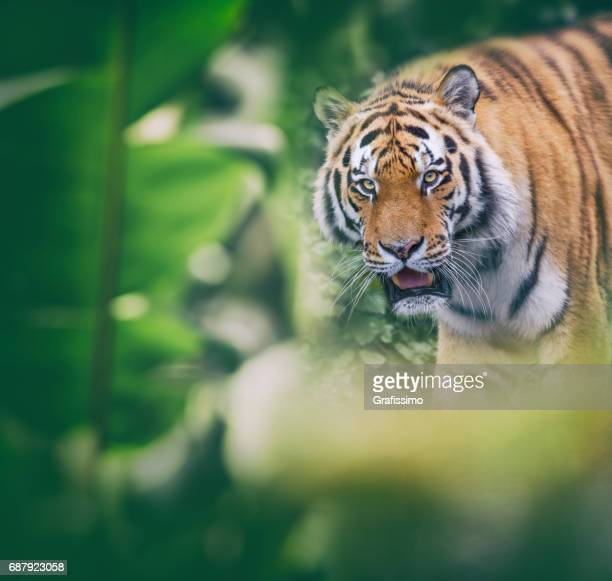 Siberian tiger walking through jungle