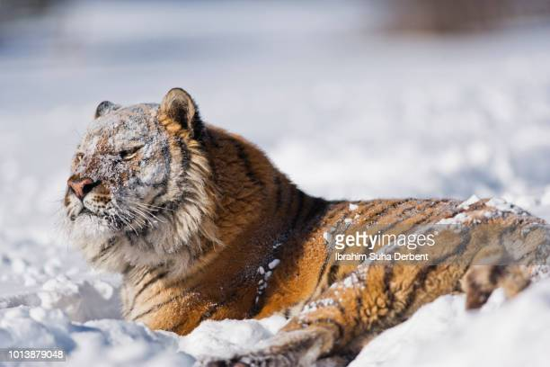 siberian tiger with snow on his face - bozeman stock pictures, royalty-free photos & images