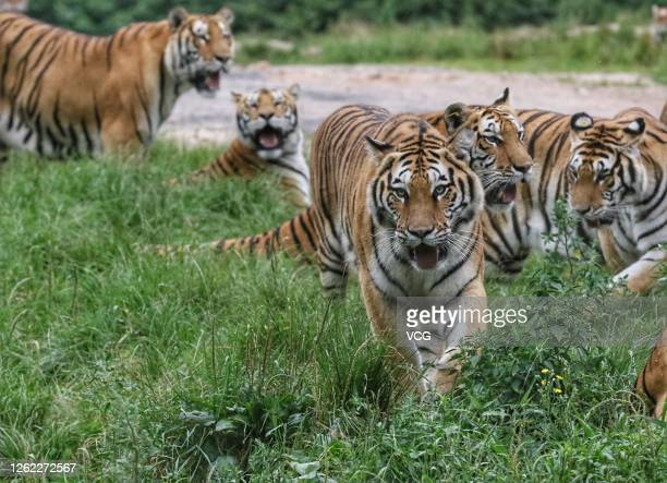 Siberian tigers are seen at the China Hengdaohezi Feline Breeding Center on July 29, 2020 in Mudanjiang, Heilongjiang Province of China.