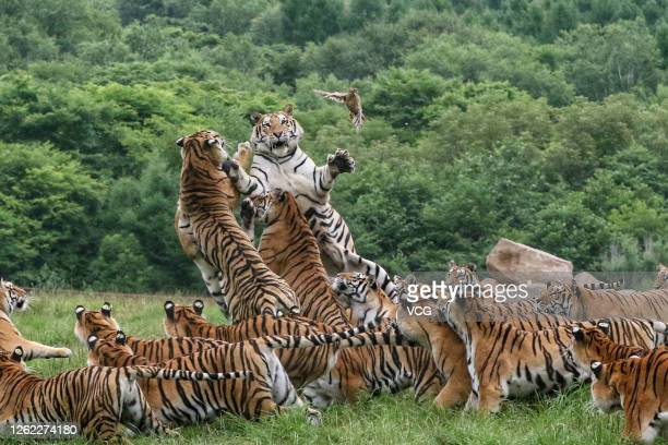 Siberian tigers feed at the China Hengdaohezi Feline Breeding Center on July 29, 2020 in Mudanjiang, Heilongjiang Province of China.