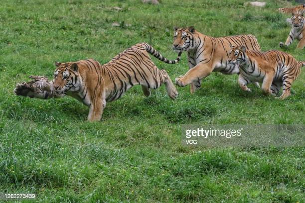 Siberian tigers feeds at the China Hengdaohezi Feline Breeding Center on July 29, 2020 in Mudanjiang, Heilongjiang Province of China.
