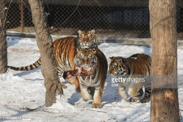 Siberian tigers prepare to eat in their enclosure at the Siberian Tiger Park in Harbin, northeast China's Heilongjiang province on January 14, 2020....