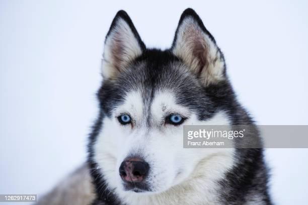 sibirian husky - ハスキー犬 ストックフォトと画像