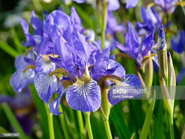 Sibiric lily, iris sibirica, Iridacea