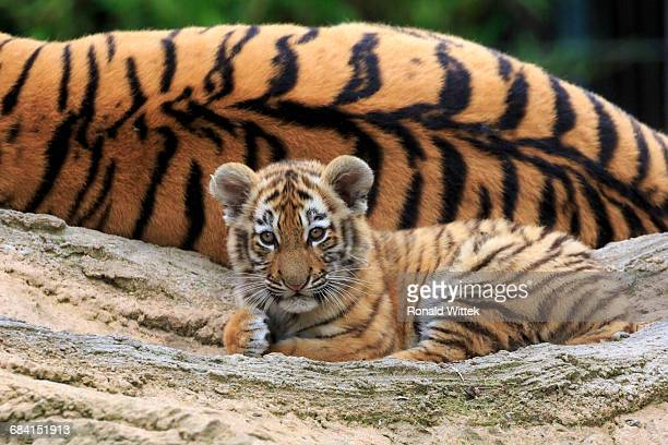 sibirien tiger - tiger cub stock photos and pictures