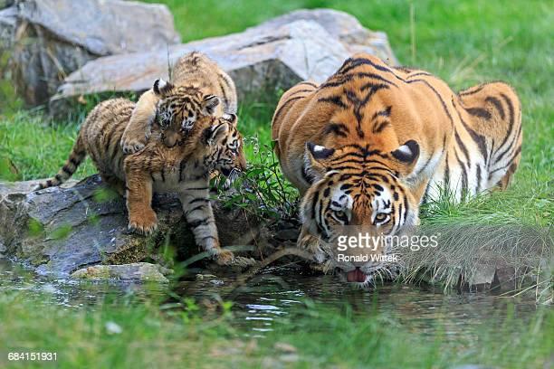 Sibirien Tiger