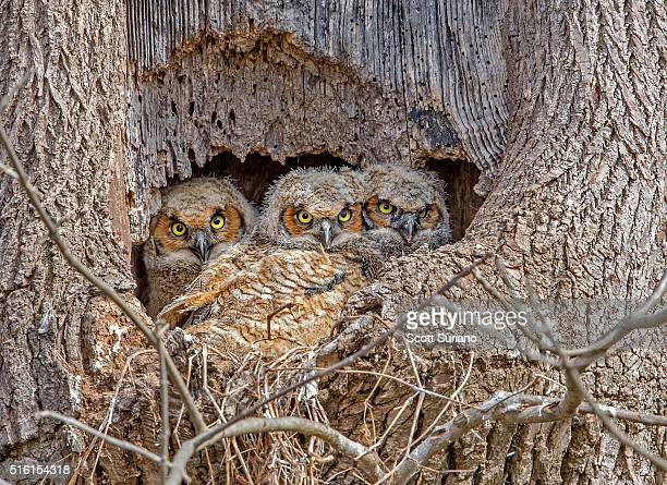 sibling love... - great horned owl stock pictures, royalty-free photos & images