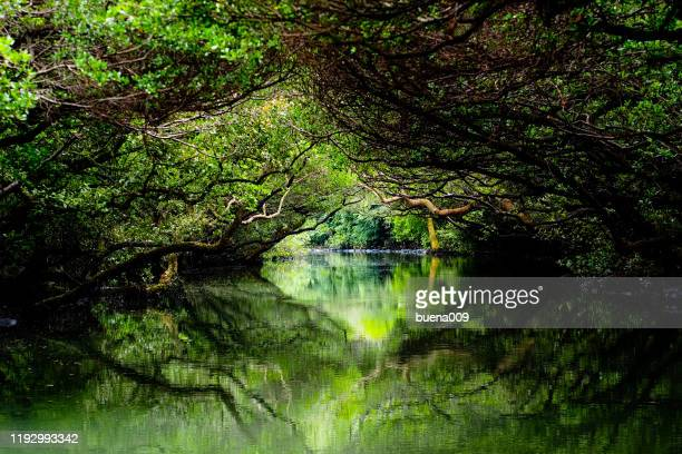 sicao wetlands - mangrove tree stock pictures, royalty-free photos & images