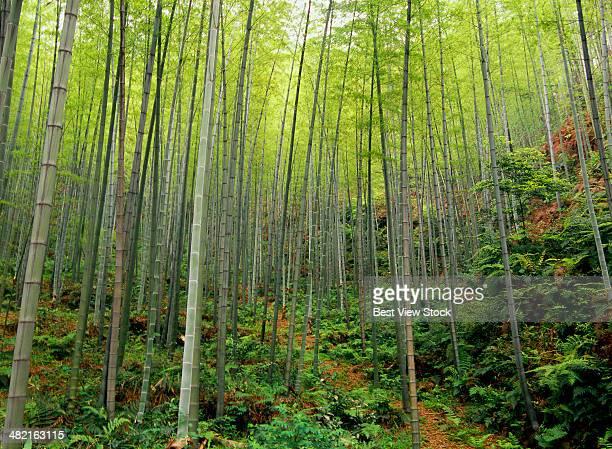 Sichuan Bamboo