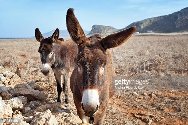 sicilian donkeys portrait - jackass images stock pictures, royalty-free photos & images