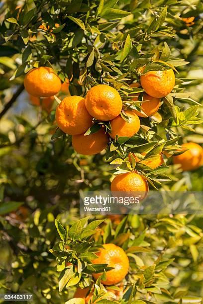 sicily, noto, organic tangerines, tree - 果樹園 ストックフォトと画像
