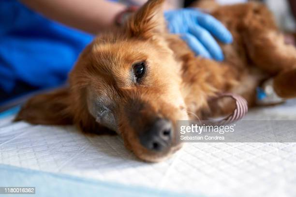 sick and bitten dog, looking at the camera during medical check-up in a veterinary clinic. veterinary control campaign. - dog cruelty stock pictures, royalty-free photos & images