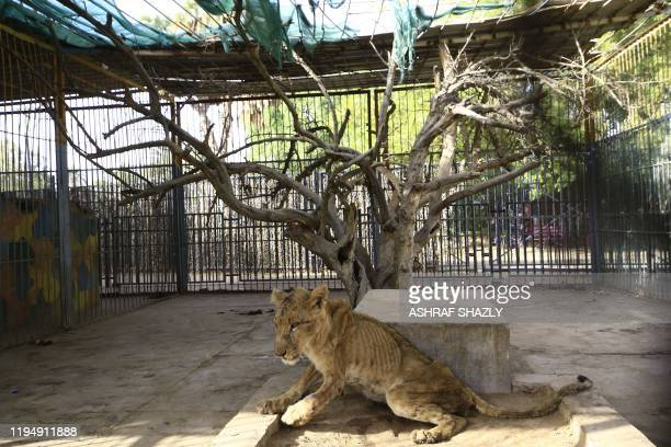 A sick and malnourished lioness sits in its cage at alQureshi Park in the sudanese capital Khartoum on January 20 2020 One of five sick and...