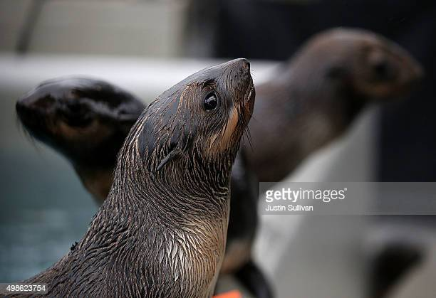 Sick and malnourished Northern Fur Seal pups sit in an enclosure at the Marine Mammal Center on November 24 2015 in Sausalito California A record...