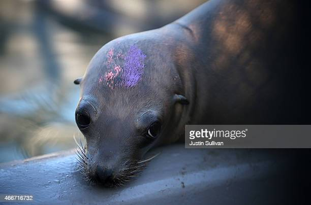 A sick and malnourished sea lion pup sits in an enclosure at the Marine Mammal Center on March 18 2015 in Sausalito California For the third winter...
