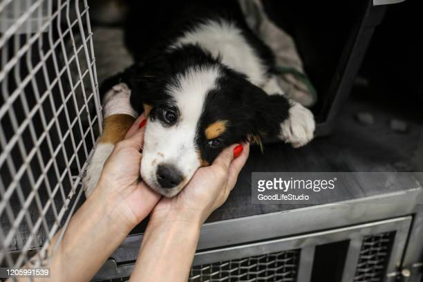 sick bernese mountain dog - animal shelter stock pictures, royalty-free photos & images