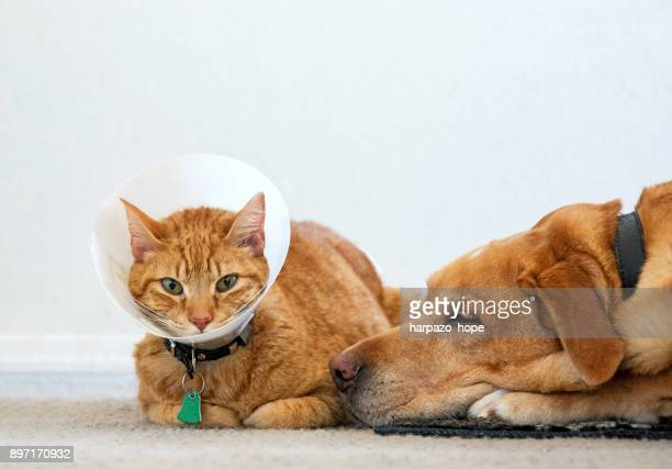 sick cat wearing a cone sitting next to a dog. - cone shape stock photos and pictures