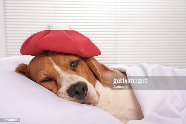 Kranken Hund im Krankenhaus-Bett