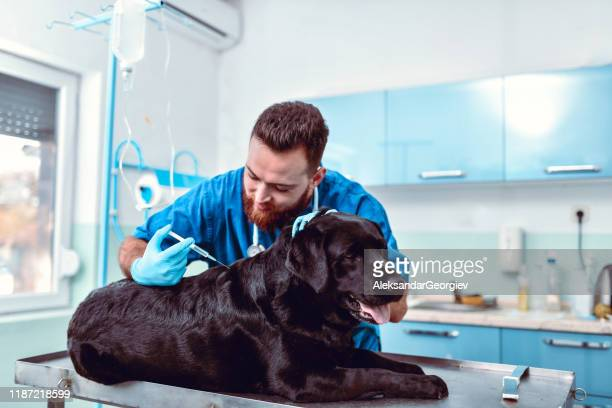 sick dog requires medicine injection - painkiller stock pictures, royalty-free photos & images