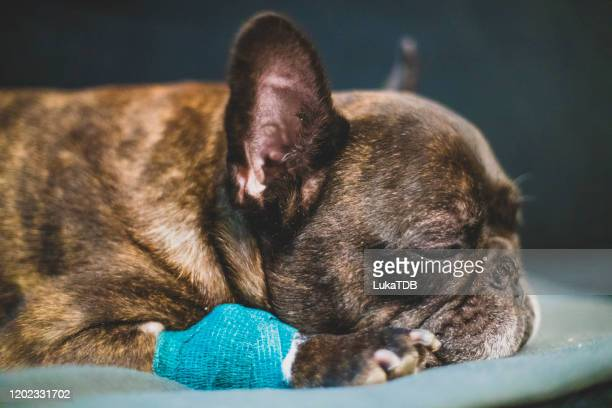 sick french bulldog sleeping on the sofa - paw stock pictures, royalty-free photos & images