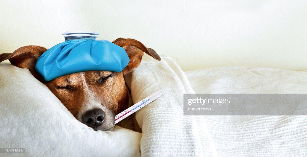 Krank Kranken Hund : Stock-Foto