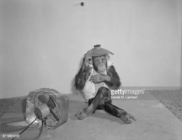 sick monkey with ice bag on head - sick bag stock photos and pictures