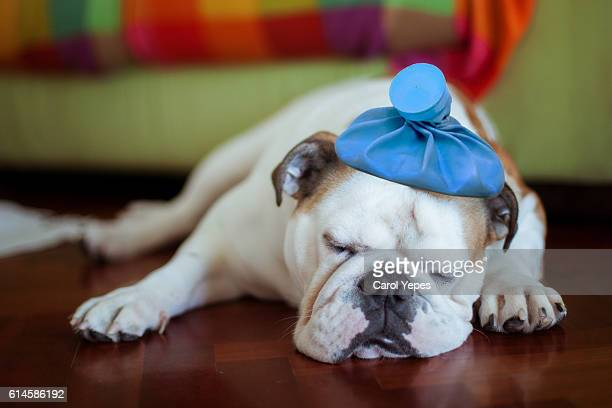 Sick young puppy with ice bag on head