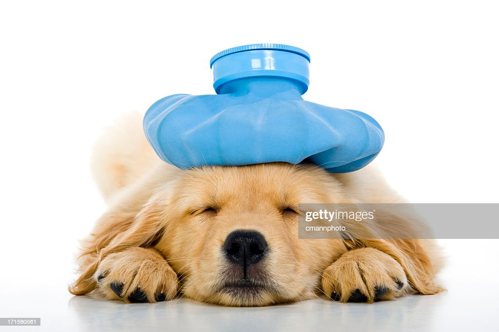 Sick young puppy with ice bag on head, white background : Stock Photo