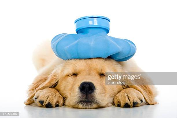 Sick young puppy with ice bag on head, white background