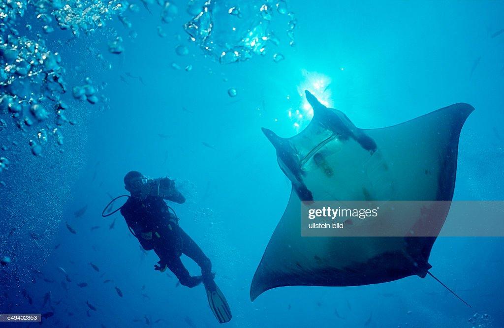 Sicklefin devilray and Scuba Diver, Mobula tarapacana, Costa Rica, Cocos Island, South america, Latin america