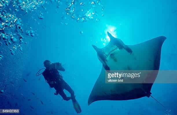 Sicklefin devilray and Scuba Diver Mobula tarapacana Costa Rica Cocos Island South america Latin america