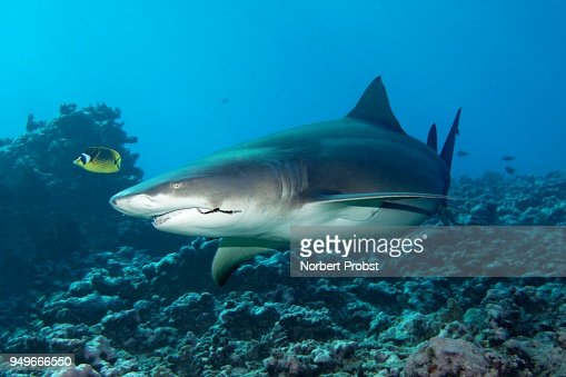 Polynesian Sharks Mouth By Cameron Rutten: Sicklefin Lemon Shark With Fishing Hooks In The Mouth
