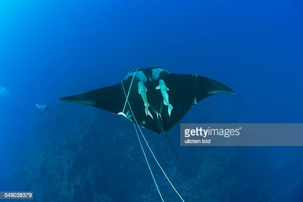 Sicklefin Mobula trapped by Rope Mobula tarapacana Azores Princess Alice Bank Atlantic Ocean Portugal