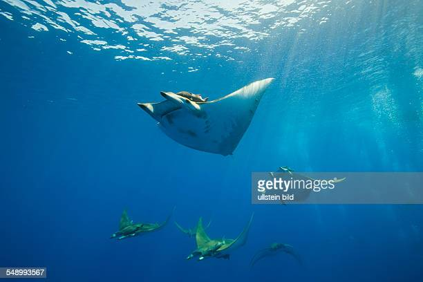 Sicklefin Mobulas Mobula tarapacana Azores Princess Alice Bank Atlantic Ocean Portugal